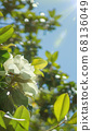 Wallpaper for phone, creamy white southern magnolia Magnolia Grandiflora flower 68136049