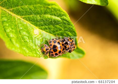 잎에 사랑 무당 벌레 68137284