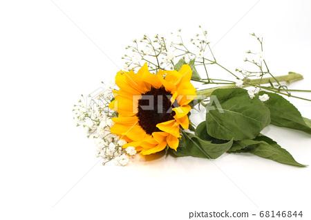 在白色背景上盛開的黃色向日葵 68146844
