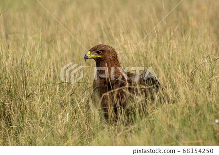 Greater spotted eagle or Clanga clanga closeup in open grassland of tal chhapar blackbuck sanctuary churu rajasthan india 68154250