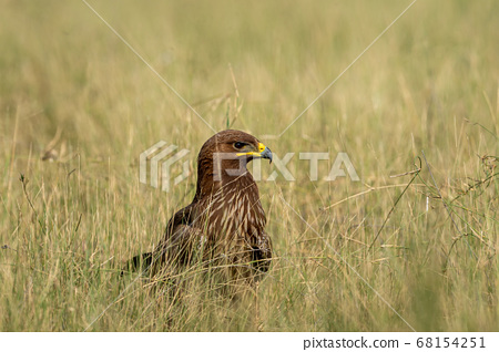 Greater spotted eagle or Clanga clanga closeup in open grassland of tal chhapar blackbuck sanctuary churu rajasthan india 68154251