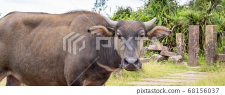 水牛 動物 桃源谷 草嶺古道 草原 grassland Taiwan water buffalo 68156037