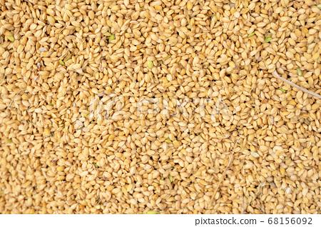 米 原料 生的 曬稻穀 生活方式 曝曬 自然 raw rice ingredient  68156092