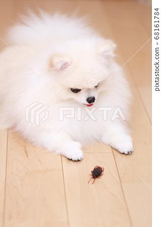 我的狗波美拉尼亞人對蟑螂感興趣 68161784
