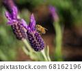 在薰衣草上採蜜的蜜蜂 68162196