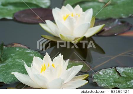하얀 수련 꽃 68169424