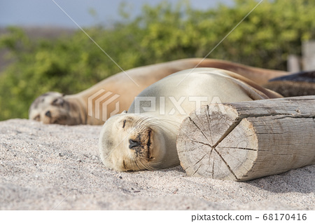 Sea Lions in sand lying on beach Galapagos Islands - Cute adorable Animals 68170416