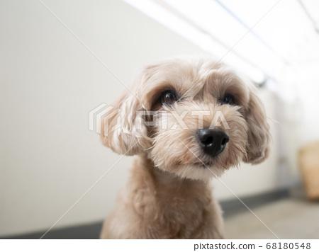 一隻可愛的杏狗坐著,凝視著你[Toy Poodle Malpu] 68180548