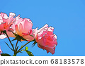 Three rose flowers against the blue sky 68183578