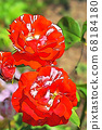 Two red roses and buds in full bloom 68184180