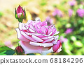 Pink roses and buds in full bloom 68184296