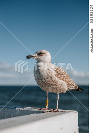 Close uo of a seagull in sopot or gdansk with a view of baltic sea in the background 68193124