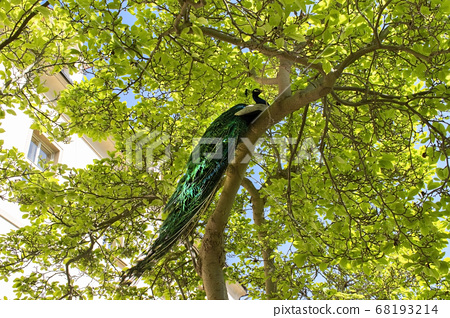 Male peacock sitting on the massive branch of the old tree in spring garden 68193214