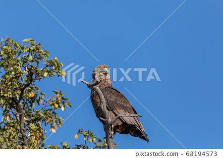 majestic tawny eagle Botswana Africa safari 68194573