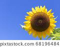 [Summer image] Sunflower in full bloom against the blue sky 68196484
