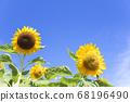 [Summer image] Sunflower in full bloom against the blue sky 68196490
