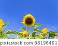 [Summer image] Sunflower in full bloom against the blue sky 68196491