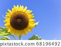[Summer image] Sunflower in full bloom against the blue sky 68196492