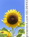 [Summer image] Sunflower in full bloom against the blue sky 68196493