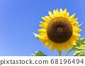 [Summer image] Sunflower in full bloom against the blue sky 68196494