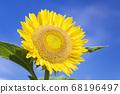 [Summer image] Sunflower in full bloom against the blue sky 68196497