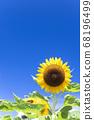 [Summer image] Sunflower in full bloom against the blue sky 68196499