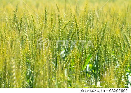 綠色麥田(五月)小麥 68202802