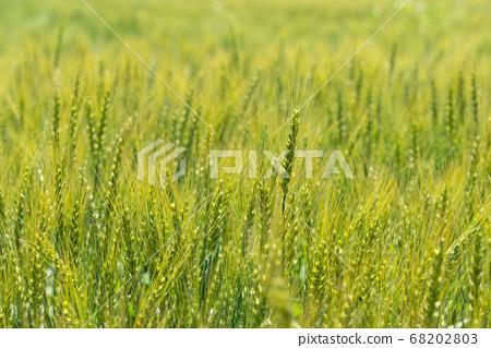 綠色麥田(五月)小麥 68202803