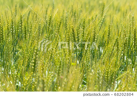 綠色麥田(五月)小麥 68202804