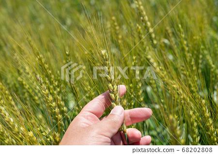 一個人麥田(五月)檢查在綠色的田野中的麥穗 68202808