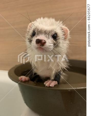 雪貂浴寵物 68205677