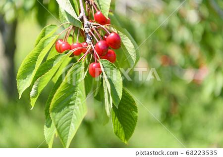 櫻桃變成了樹木 68223535
