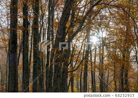 Beech yellow leaves 68232915
