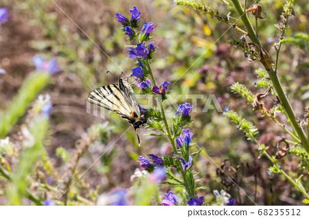 Sail moth (Iphiclides podalirius) 68235512