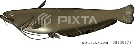 Catfish illustration 68239172