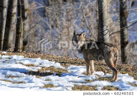 Italian wolf (canis lupus italicus) 68246583