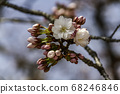 Cherry blossoms in Kyoto 68246846