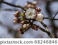 교토의 벚꽃 68246846