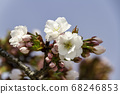 Cherry blossoms in Kyoto 68246853