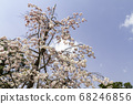 Cherry blossoms in Kyoto 68246856