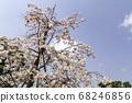 교토의 벚꽃 68246856