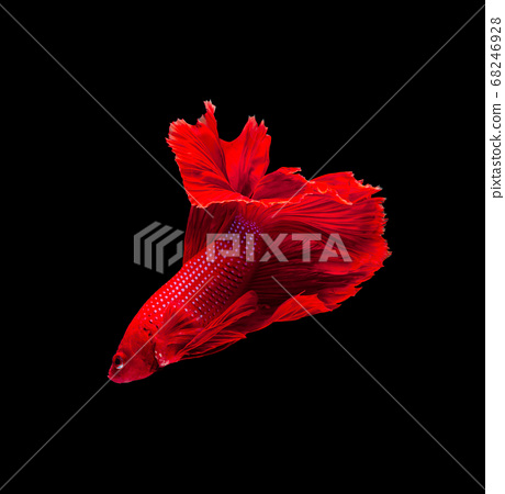 Super red half moon Siamese fighting fish isolated 68246928
