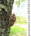 Minmin Semi幼虫爬树 68254815