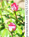 Two pink rose flowers 68257722