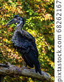 Abyssinian northern Ground Hornbill, Bucorvus 68262167