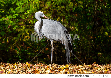 The Blue Crane, Grus paradisea, is an endangered 68262178