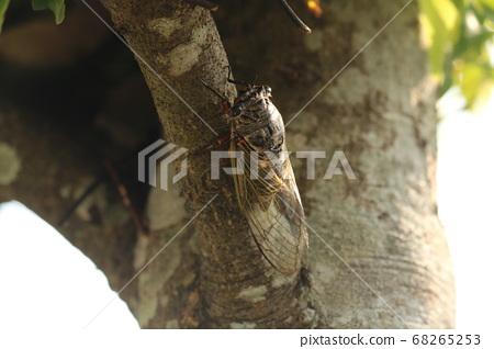 Cicadas 68265253