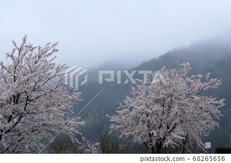 돗토리 사계절의 산책 봄 꽃 사쿠라 68265656