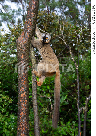 Lemurs in a rain forest on the trees, hopping from 68281996
