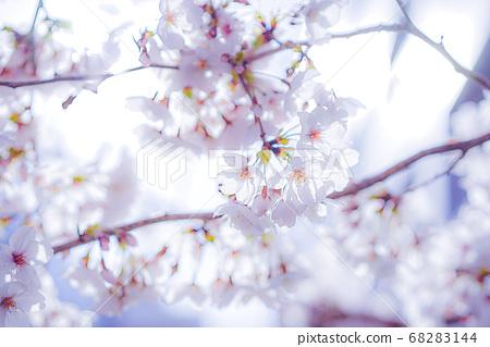 Cherry Blossoms 68283144